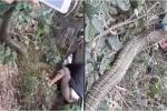 Nhân chứng kể lại giây phút nghẹt thở vây bắt rắn khổng lồ ở Vĩnh Phúc