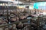 5.000 con heo bị tiêm thuốc an thần: Có cả heo đeo vòng truy xuất nguồn gốc