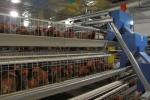 Hệ thống tự động hóa trang trại gà thông minh