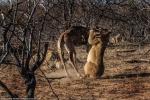 Hươu cao cổ con 'tung cước' vào đàn sư tử hung dữ để tự vệ