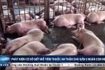 Đột kích lò mổ tiêm thuốc an thần cho gần 5.000 con lợn