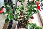 Cây táo nở hoa... dâm bụt khiến khách hàng hoang mang