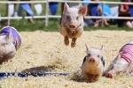 Kỳ lạ cuộc đua lợn vượt chướng ngại vật ở Trung Quốc