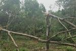 Đau xót nhìn hàng nghìn hecta rừng cao su sắp thu hoạch ở Quảng Trị bị bão quật đổ