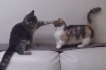 Clip chú mèo chân ngắn bị bạn bắt nạt hút gần 8 triệu lượt xem trên Facebook