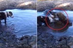 Đang chơi ở vũng nước, chó nhà bị cá sấu chồm lên đớp cú chí mạng