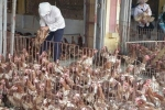 Gà Tàu đầu trọc, gà dai Hàn Quốc: Hàng thải về Việt Nam thành đặc sản