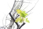 Ảnh: Hàng phong lá đỏ trên phố Hà Nội nhú những chiếc lá đầu tiên