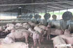 Thủ phủ heo Đồng Nai trước dịch tả Châu Phi: Người điêu đứng, kẻ vẫn thờ ơ