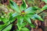 Nhân giống thành công cây dược liệu Bảy lá một hoa và Huyết rồng lào