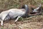 Cố nuốt linh dương, trăn 'khủng' bị cặp sừng sắc nhọn đâm thủng họng