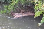 Xác lợn nổi đầy mặt suối ở Lâm Đồng