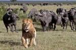 Đàn trâu rừng đuổi sư tử đực chạy 'thừa sống thiếu chết'