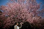 Video: Hàng chục nghìn người đổ xô đi ngắm hoa anh đào nở rộ ở Nhật Bản