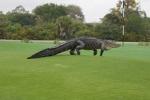 Cá sấu khổng lồ như khủng long bò lên sân golf khiến người chơi kinh hồn bạt vía