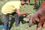 Quảng Trị: Tặng bò bị lở mồm long móng cho dân nghèo