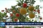 Nông dân Hà Nội trồng cây ra chục loại quả siêu lạ đón Tết
