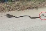 Chuột mẹ quyết chiến dữ dội, giải cứu chuột con từ miệng rắn