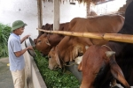 'Hóa' bò gầy thành béo, kiếm nửa tỷ đồng/ 5 tháng