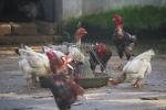Cận cảnh giống gà Móng quý cho thu nhập nửa tỷ mỗi năm ở Hà Nam