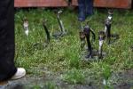 Ngôi làng nuôi 3 triệu con rắn, mỗi tháng thu về hơn 20 tỷ đồng