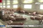 Trung Quốc mua lợn trở lại, khủng hoảng tạm qua
