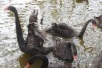 Cận cảnh 12 con thiên nga trị giá hàng trăm triệu đồng ở Hồ Gươm