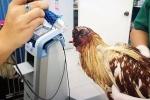 Clip: Kinh ngạc gà mất đầu vẫn sống khỏe re ở Thái Lan