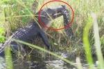 Clip: Cá sấu khổng lồ tử chiến nghẹt thở với trăn dài 5 m