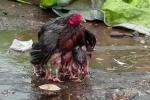 Clip gà mẹ dang cánh che chở đàn con trong mưa hút triệu lượt xem