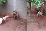 Clip: Chó hung hăng dọa nạt hổ và cái kết đắng
