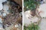 Bị chặt lìa đầu, rắn chuông vẫn cắn người suýt mất mạng