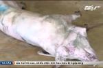Rùng mình phát hiện đàn lợn mắc bệnh, lở loét trong lò giết mổ ở Hà Tĩnh