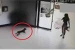 Phì cười clip 3 chú chó liên tiếp đâm đầu vào cửa kính