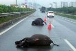 Đi lạc vào cao tốc, 2 con trâu bị ôtô đâm chết