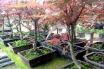 Video: Mục sở thị vườn phong lá đỏ bonsai độc đáo, đắt đỏ ở Thủ đô