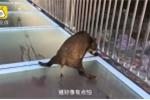 Quá ham chơi, heo rừng con chạy lạc lên cầu kính nổi tiếng ở Trung Quốc