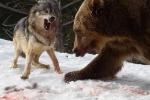 Trận huyết chiến giành thức ăn giữa gấu nâu khổng lồ và đàn sói