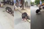 Tròn mắt xem chú lợn ục ịch chạy theo xe chủ trên phố