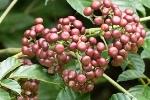 Phát hiện loại cây có thể hỗ trợ ngăn ngừa ung thư
