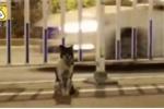 Video: Cảm động chú chó trung thành ngồi đợi tại nơi chủ chết suốt 80 ngày