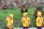 Sư tử khổng lồ lao đến đòi cắn bé 2 tuổi