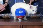 Khai mạc World Cup 2018: Mèo 'tiên tri' dự đoán Nga thắng Ả Rập Xê-út