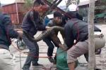 Xôn xao clip dân kích điện, bắt rắn hổ mang chúa 'khủng' ở Vĩnh Phúc
