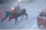 Clip: Bò nổi điên húc bay người đàn ông trên phố