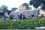Ảnh: Vườn 'hoa mặt trời' bung nở ở Hoàng Thành Thăng Long hút hồn du khách