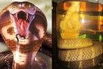 Ảo tưởng uống rượu rắn, tiết rắn giúp sung sức khi 'yêu', quý ông gặp họa sinh lý suốt đời