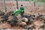 Video: Xem chàng trai điều khiển lợn rừng bằng tiếng còi xe máy