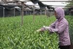 Người trồng hoa ở Tây Tựu: 'Hoa ly không cười, người buồn rơi nước mắt'