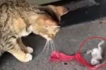 Clip: Chuột 'diễn sâu', giả chết điêu luyện trước mặt mèo